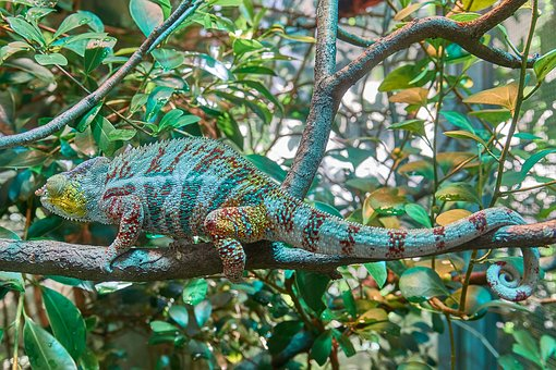 chameleon-2645503__340